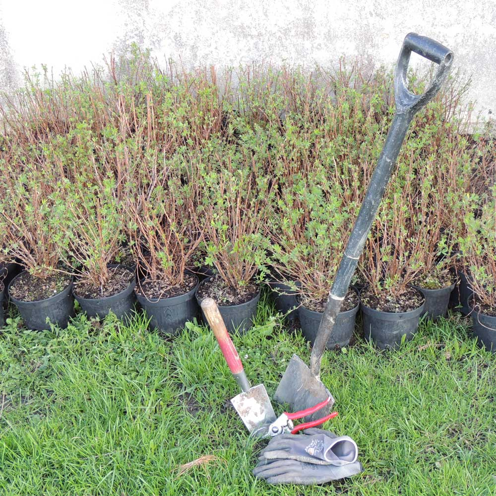 Baumschulpflanzen